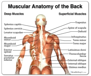 muscular-anatomy-of-the-back